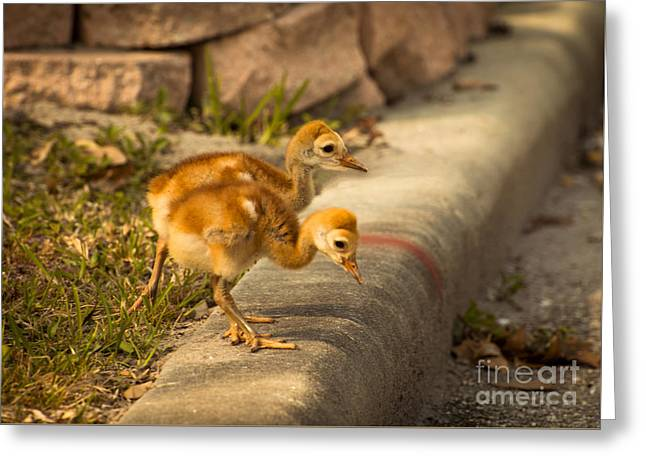 Sandhill Crane Chicks 3 Greeting Card