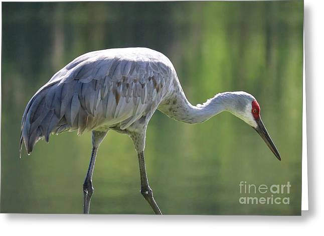Sandhill And Green Pond Greeting Card by Carol Groenen