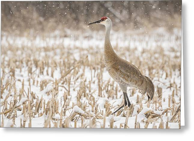 Sandhill Crane 2016-3 Greeting Card