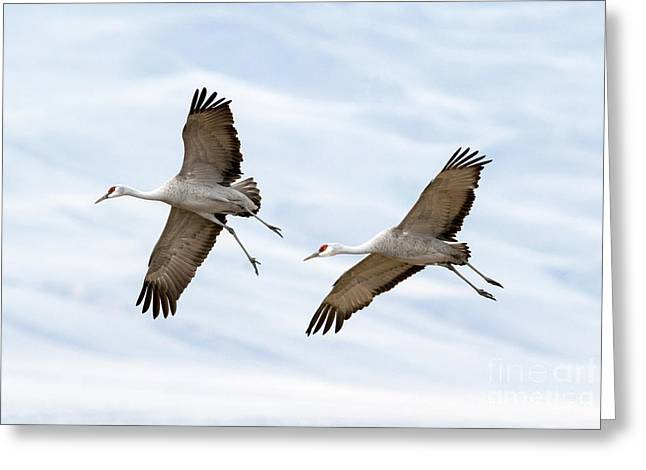 Sandhill Crane Approach Greeting Card by Mike Dawson
