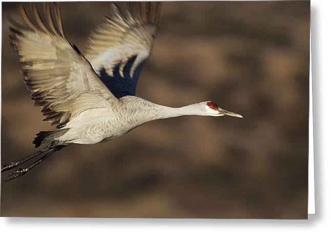 Sandhill Crane Flying Bosque Del Apache Greeting Card