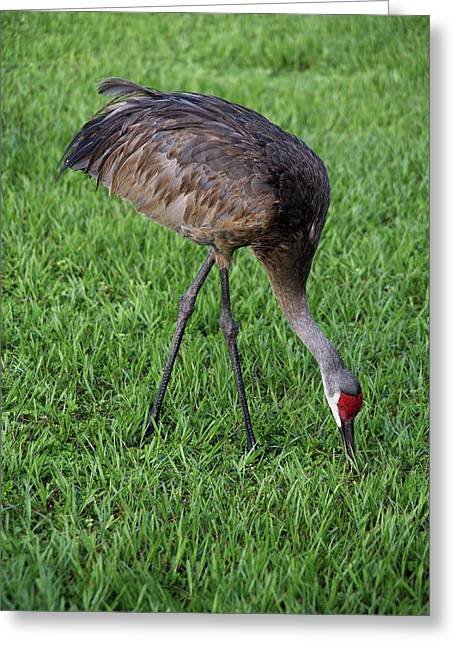 Greeting Card featuring the photograph Sandhill Crane II by Richard Rizzo