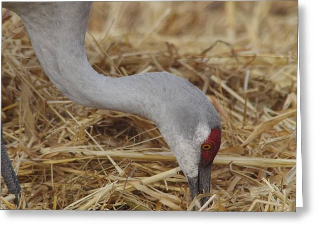 Sandhill Crane Pecking For Seeds Greeting Card by Jeff Swan