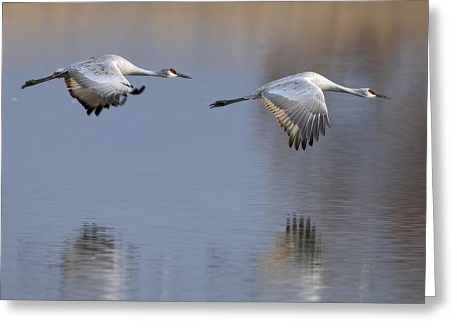 Sandhill Crane Returning Greeting Card