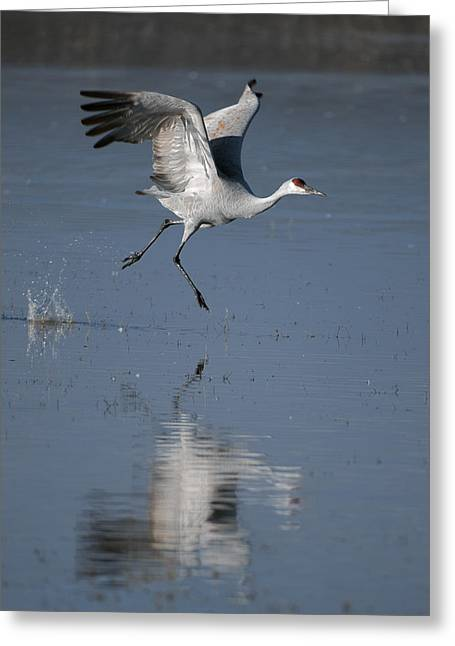 Sandhill Cranes Greeting Cards - SandHill Crane running on water Greeting Card by Gary Langley