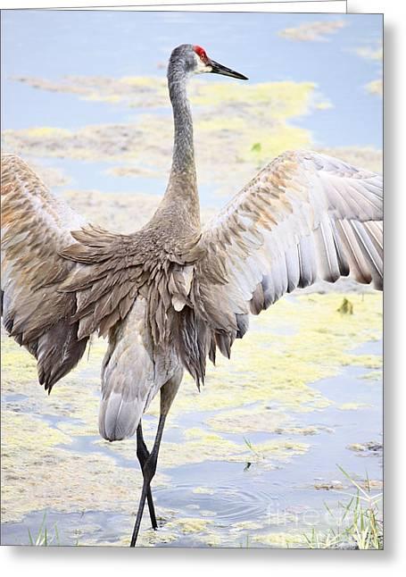 Sandhill Crane Wings Greeting Card by Carol Groenen