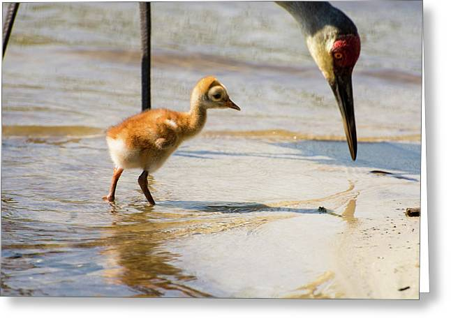 Sandhill Crane With Chick Greeting Card