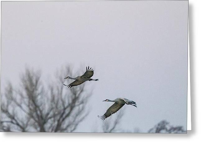 Sandhill Cranes Flying Greeting Card