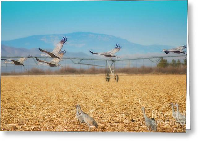 Sandhill Cranes In Flight Greeting Card