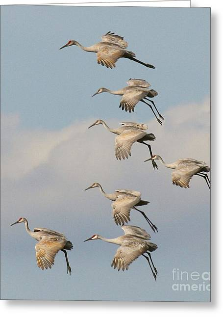 Sandhill Cranes Greeting Card by Myrna Bradshaw