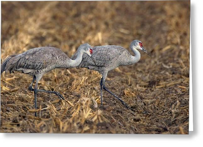 Sandhill Cranes - Pair Greeting Card by Nikolyn McDonald