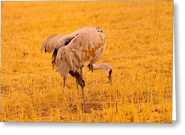 Sandhill Cranes Pecking The Ground Greeting Card by Jeff Swan