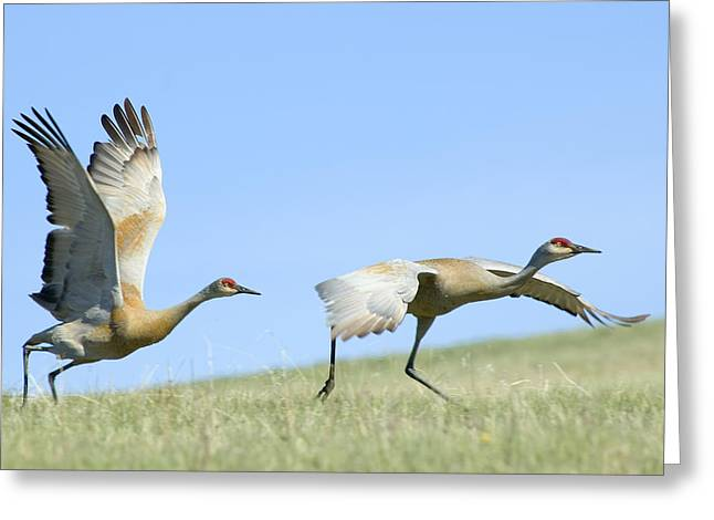 Sandhill Cranes Taking Flight Greeting Card