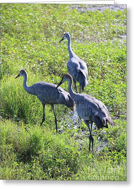 Sandhill Cranes Through The Reeds Greeting Card