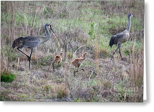 Sandhill Family Walking Through The Marsh Greeting Card