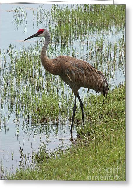Sandhill In The Marsh Greeting Card