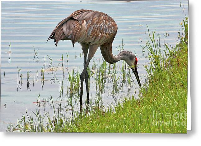 Sandhill Pond Forager Greeting Card