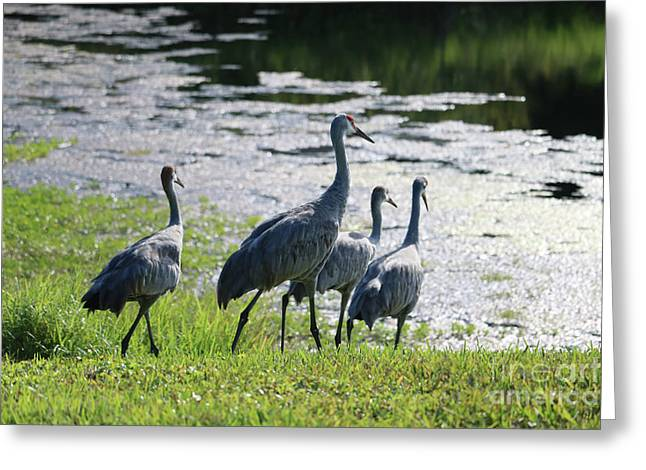 Sandhill Family To The Pond Greeting Card