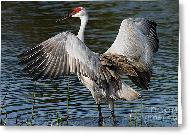 Sandhill Crane Wingstretch Greeting Card