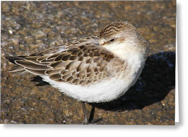 Sandpiper Greeting Card by Doug Mills