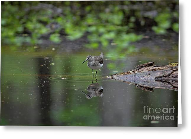 Greeting Card featuring the photograph Sandpiper In The Smokies by Douglas Stucky