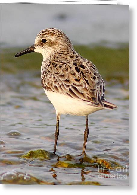 Sandpiper Portrait Greeting Card