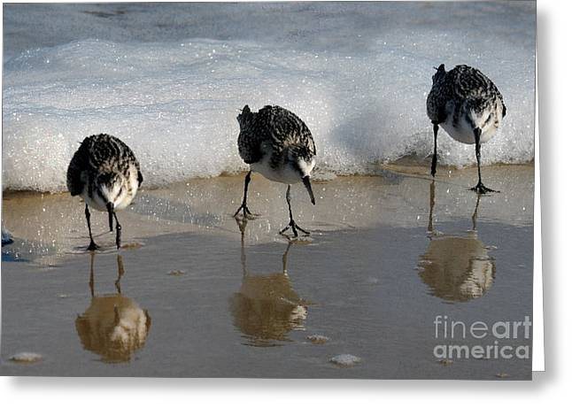 Sandpipers Feeding Greeting Card by Dan Friend