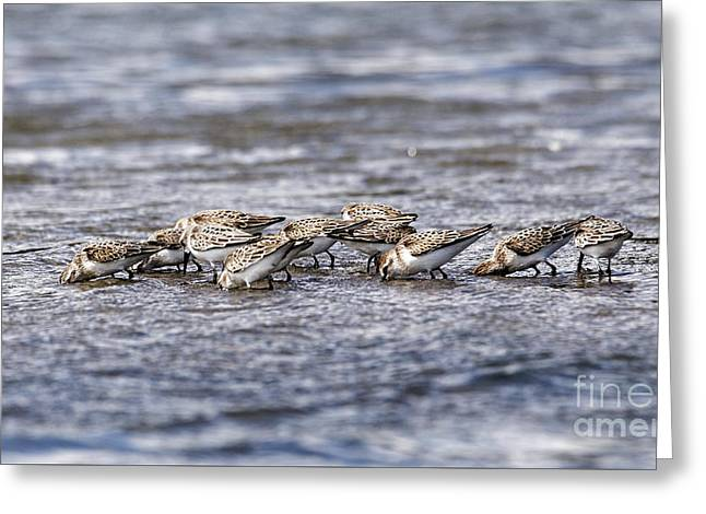 Greeting Card featuring the photograph Sandpipers Heads Down by Sue Harper