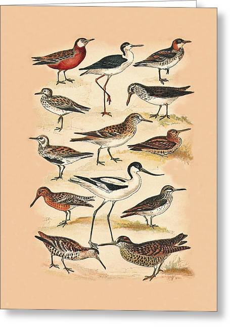 Sandpipers Snipes And Others Greeting Card