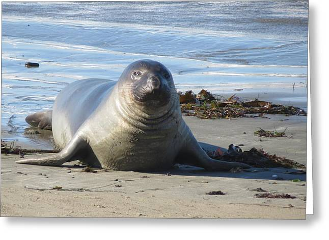 Sandy The Seal Greeting Card by Gary Hedman
