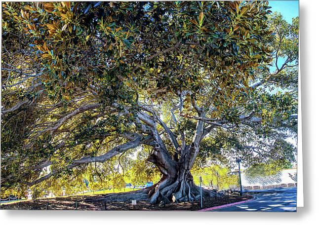 Santa Barbara Fig Tree Greeting Card