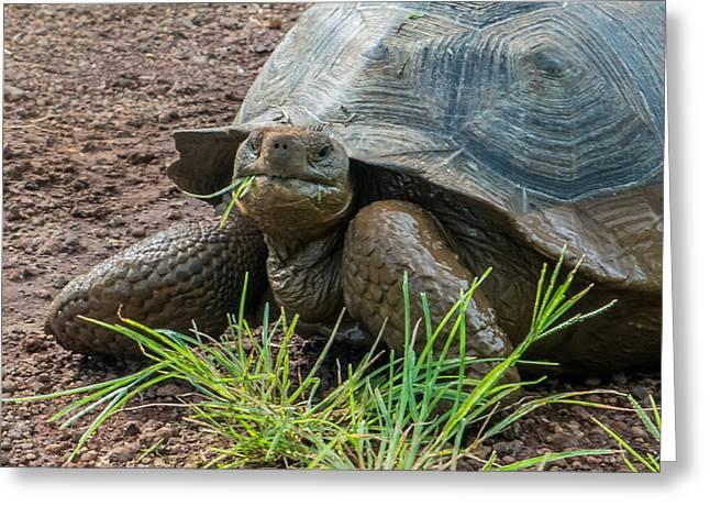 Santa Cruz Tortoise Grass Feast Greeting Card by Harry Strharsky