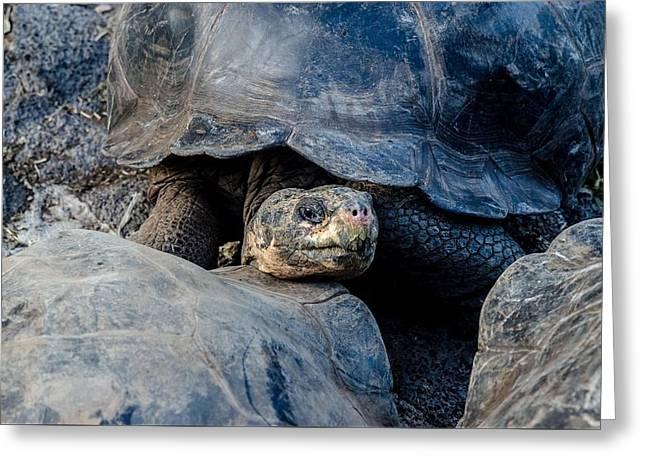 Santa Cruz Tortoise Greeting Card by Harry Strharsky