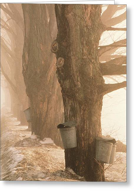 Sap Buckets. Underhill, Vermont Greeting Card