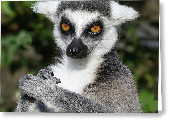 Satisfied Ring-tailed Lemur Greeting Card