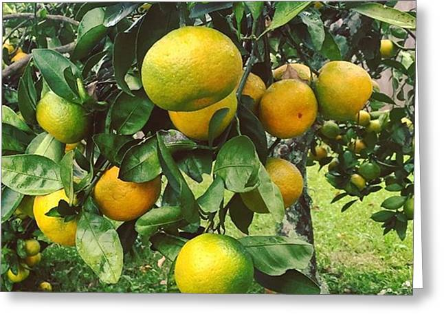 Satsumas..we Wait All Year For These Greeting Card