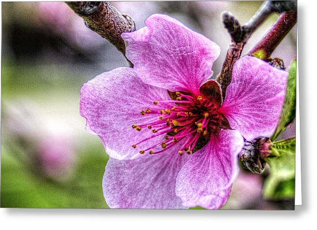 Saturn Peach Blossom Greeting Card by Roger Passman