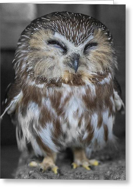 Saw Whet Owl Greeting Card
