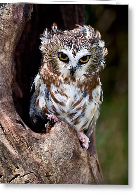 Saw-whet Owl Greeting Card