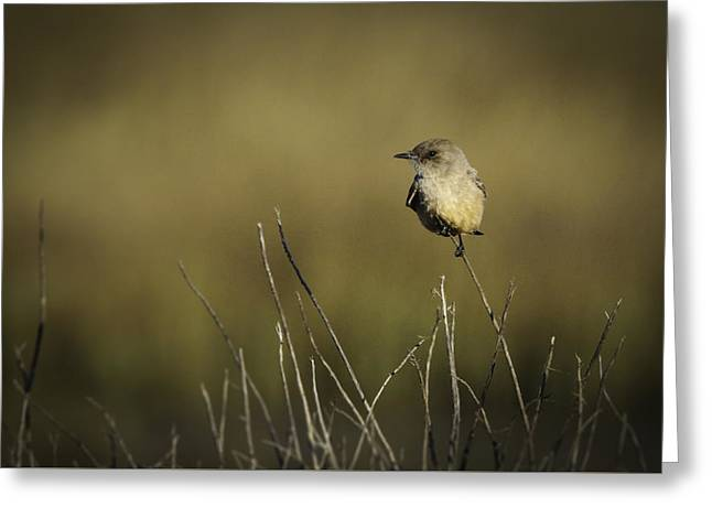 Say's Flycatcher Greeting Card
