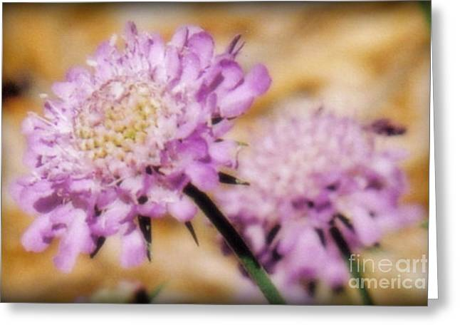 Scabosia Blooms Greeting Card