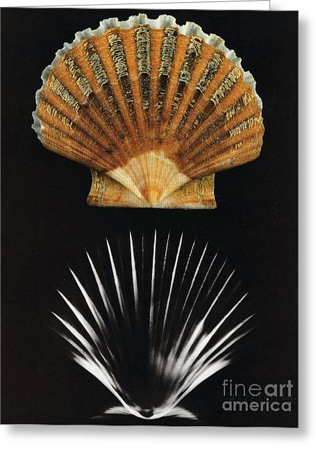 Scallop Shell X-ray Greeting Card by Photo Researchers