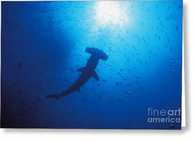 Scalloped Hammerhead Shark Greeting Card by Ed Robinson - Printscapes