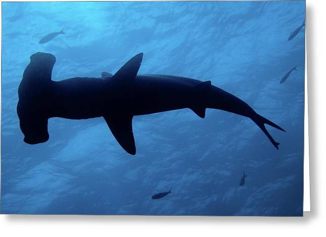 Scalloped Hammerhead Shark Underwater View Greeting Card by Sami Sarkis