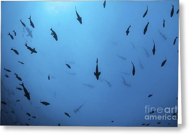Scalloped Hammerhead Sharks Swim Greeting Card by Ethan Daniels