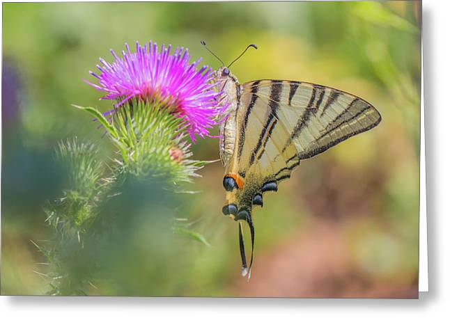Scarce Swallowtail - Iphiclides Podalirius Greeting Card