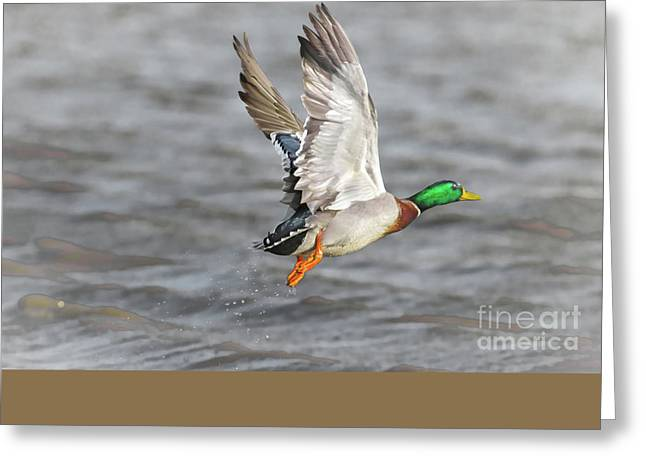 Scared Mallard Drake Greeting Card