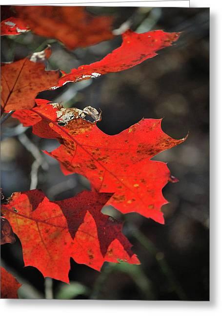 Scarlet Autumn Greeting Card