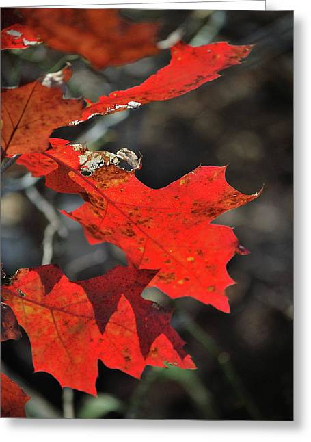 Scarlet Autumn Greeting Card