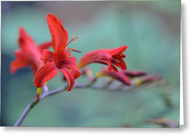 Scarlet Blooms Greeting Card